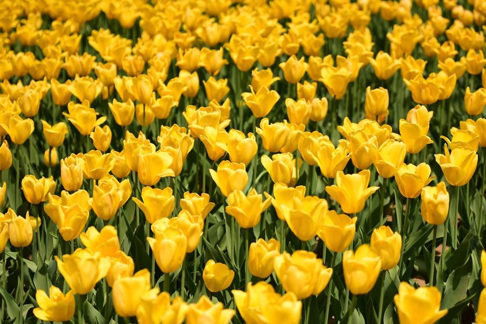 Beautiful stock photos of tulip, Abundance, Beauty In Nature, China, Dalian
