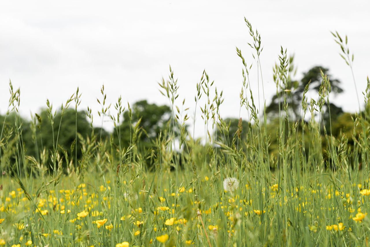 Meadowlands Grassland Buttercups