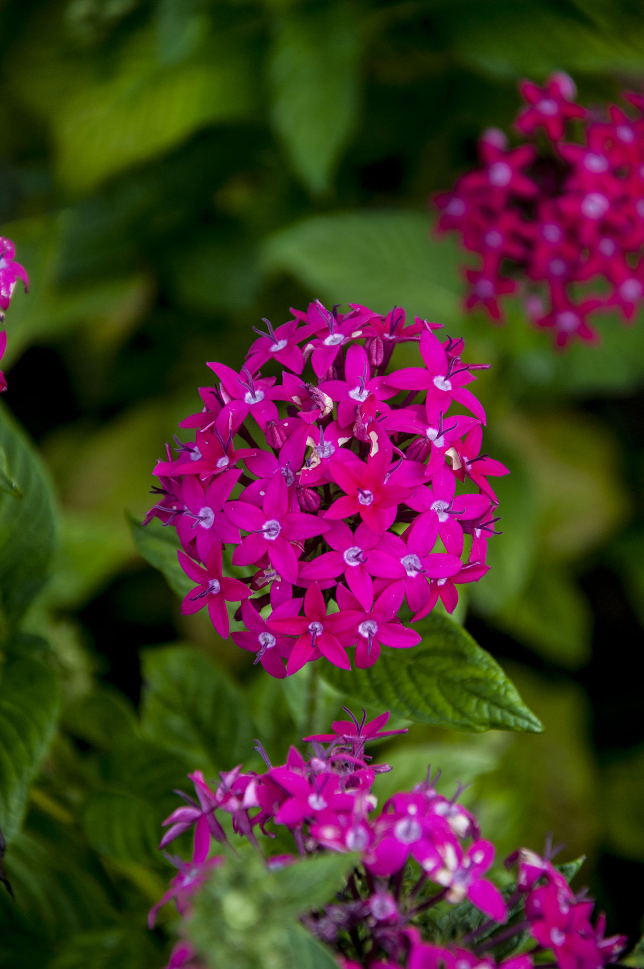 Blooming Flower Freshness Ixora Nature Nature Photography Nature Photography EyeEm Best Shots Pink Color Plant Santan