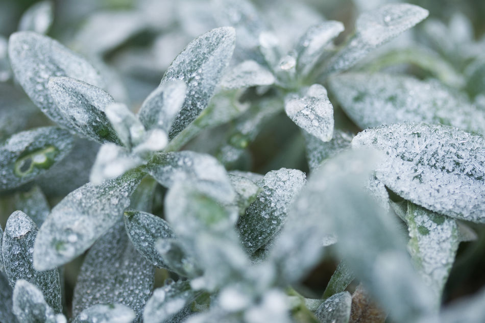 Beauty In Nature Close-up Cold Fragility Freshness Frost Frost Frozen Ice Ice Crystal Leaf Nature Winter Wintertime