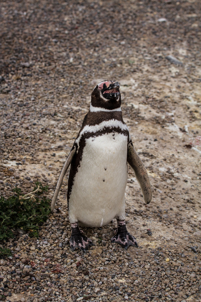 High Angle View Of Penguin