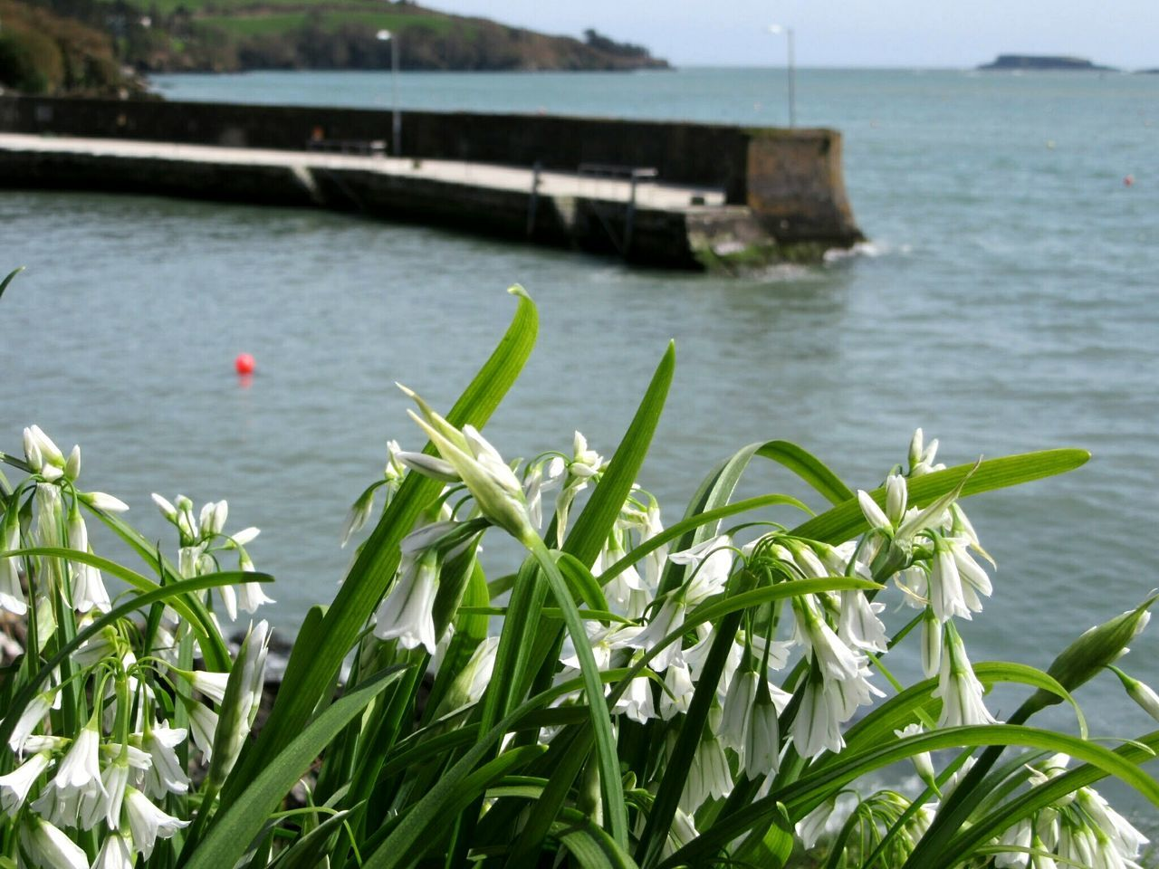 Albino bluebells Albino Bluebells Native Plants Shoreline Pier Glandore, Ireland West Cork Wildatlanticway Ireland