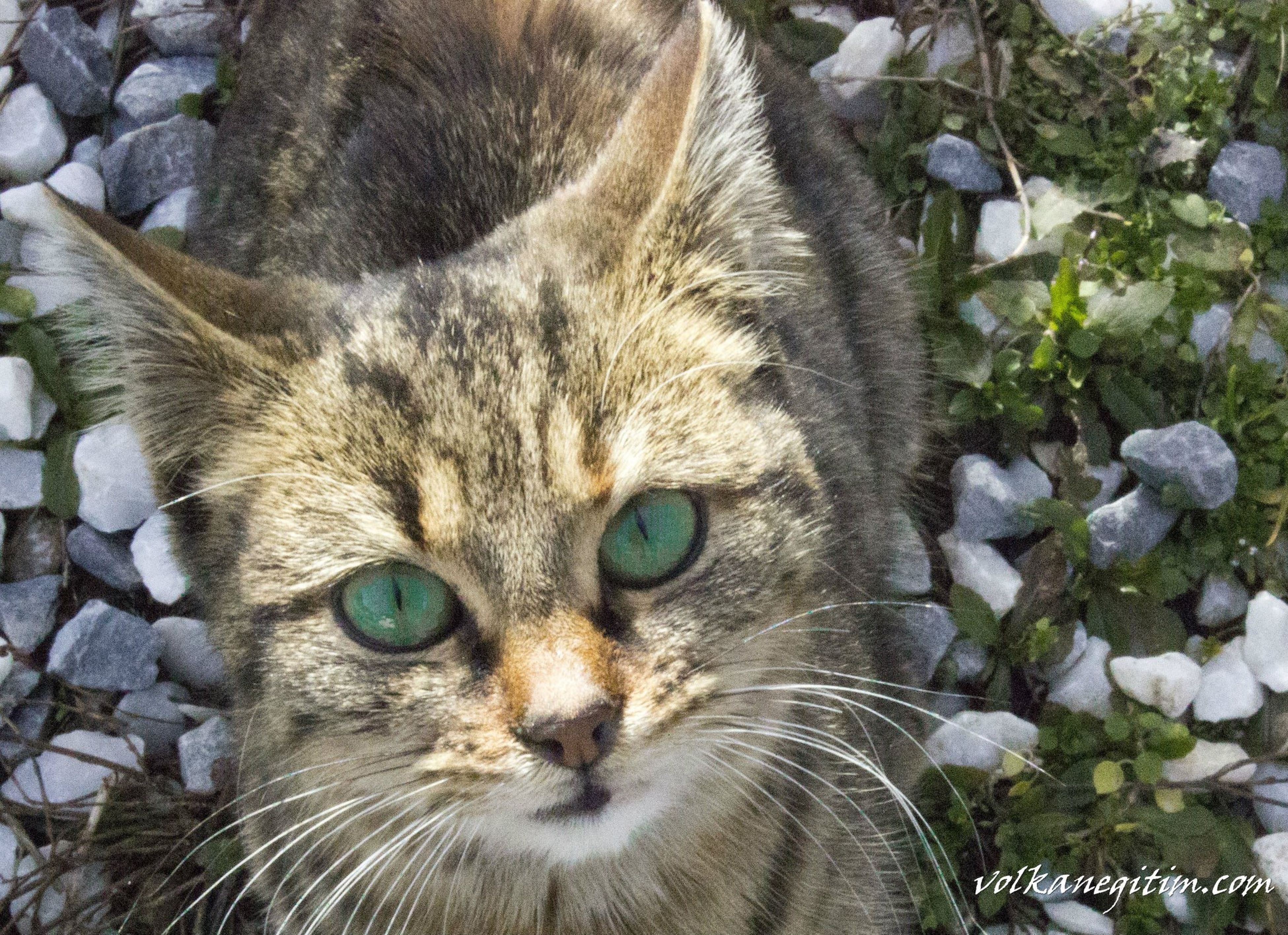 domestic cat, cat, feline, animal themes, one animal, domestic animals, pets, whisker, mammal, looking at camera, portrait, close-up, animal head, high angle view, staring, animal eye, alertness, no people, relaxation, outdoors
