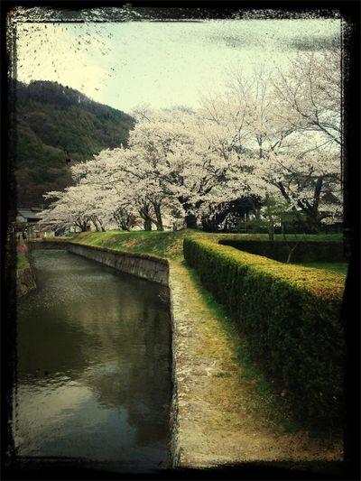 龍岡城の桜。いま、見所です。
