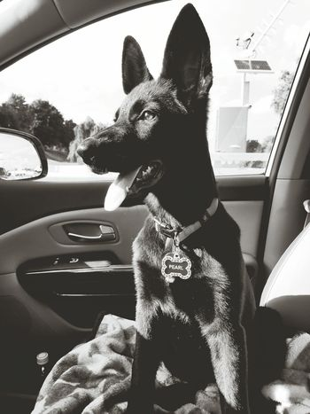 My little black Pearl. German Shepherd Black Gsd Black And White Photography Canine Companion