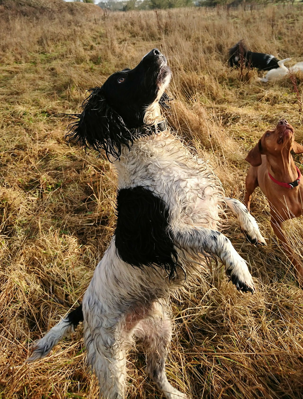 Gundog Canine Photography Dogsareawesome Dog Photography Dogs_of_instagram Dog❤ Doglovers Canine Love :) Dogs Of EyeEm Dogslife Dog Love DogLove Dog Walking Spanielsofinstagram
