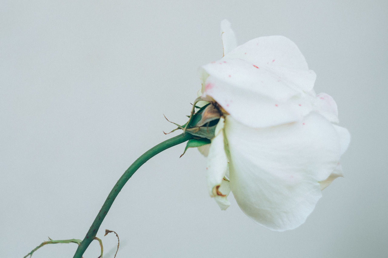 Beautiful stock photos of roses, Girona, Grey, Horizontal Image, Pastel