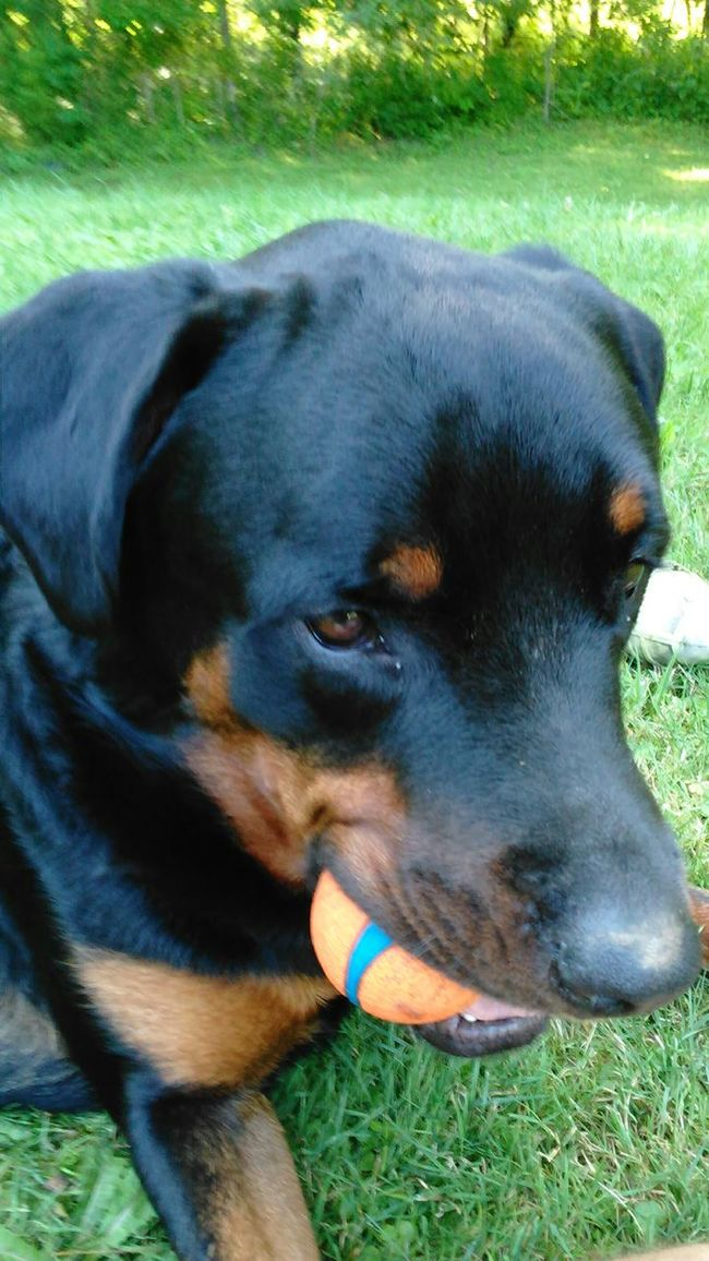 Playing alittle ball... Check This Out Enjoying Life Priceless Our World Thru My Eyes Beauty In Ordinary Things No Edit/no Filter Rottweiler Canine Companion Dogs Of EyeEm Rottweilerlove My Buddy Ceasar Rottweilerlife