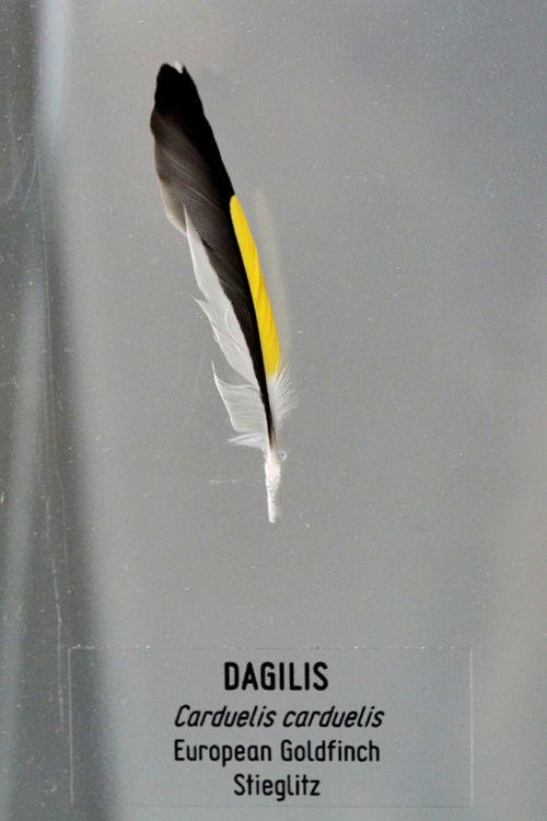 *Dagilis/ European Goldfinch* Photo Lithuania Photography Ventes Ragas Dagilis European  Goldfinch