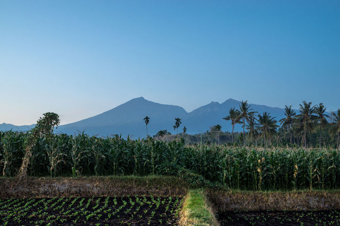 View of Mount Rinjani from Desa Sembulan in Lombok, Indonesia. Agriculture Beauty In Nature Blue Clear Sky Day Growth Landscape Lombok-Indonesia Mountain Mountain Range Mountains And Sky Nature No People Outdoors Paddy Field Plant Rinjani National Park Scenics Sky Tree