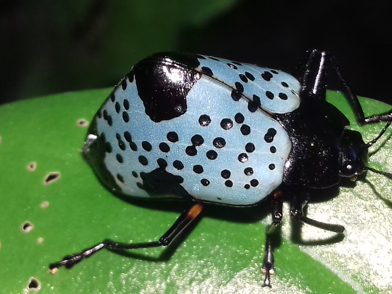 insect, animal themes, close-up, animals in the wild, one animal, no people, spotted, green color, ladybug, day, outdoors, nature