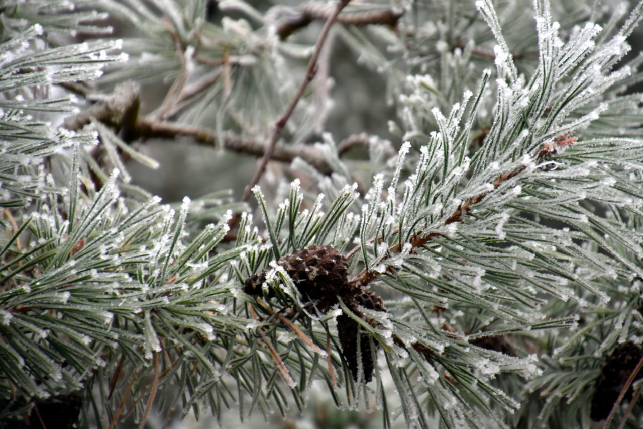 Beauty In Nature Close-up Cold Temperature Frosted Frosty Hi Ice Ice Crystals Iced Ladyphotographerofthemonth Nature Nature On Your Doorstep Nature Photography Nature_collection Nature_perfection No People Outdoors Plant Popular Photos Taking Photos Pine Pine Needles