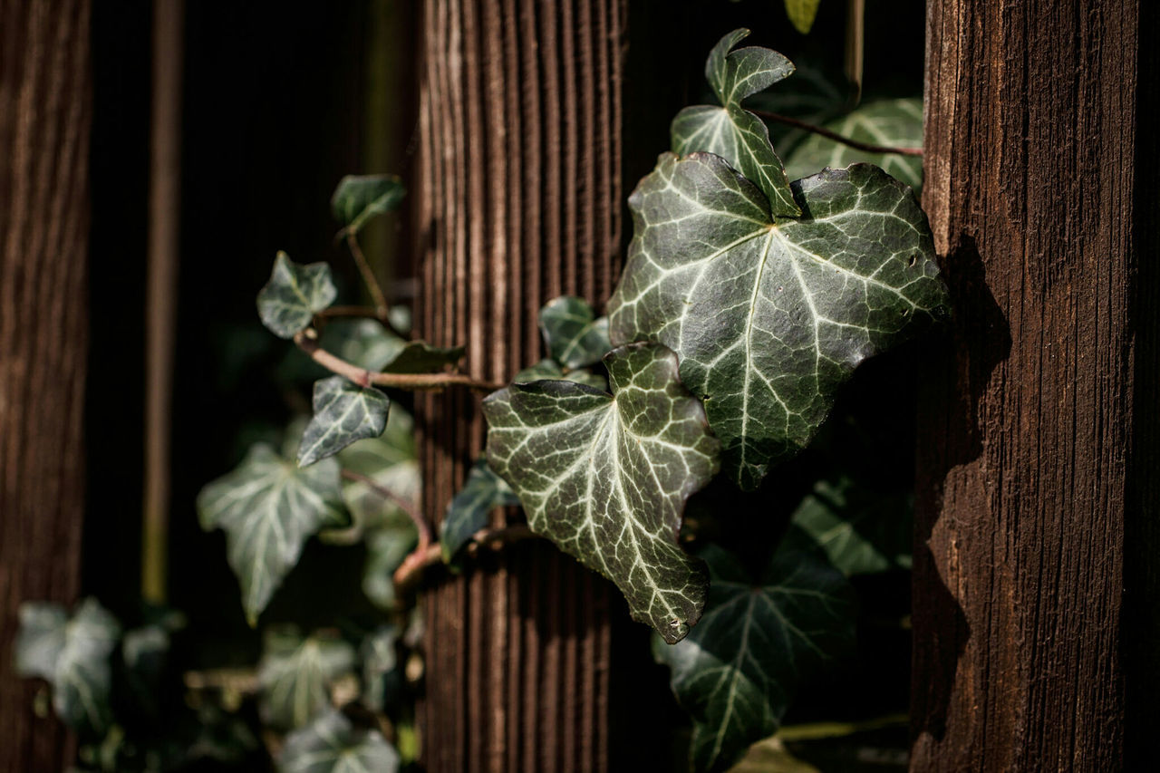 ~ 🌱🌿~ Leaf Close-up Nature Outdoors Beauty In Nature Day Fragility No People Spring Plant Plants 🌱 Light And Shadow Naturelovers Nature On Your Doorstep Macro Photography Macro Beauty Nature_collection Getting Inspired Ivy Sunshine Ivy Leaves Wall Green Color Life Growth