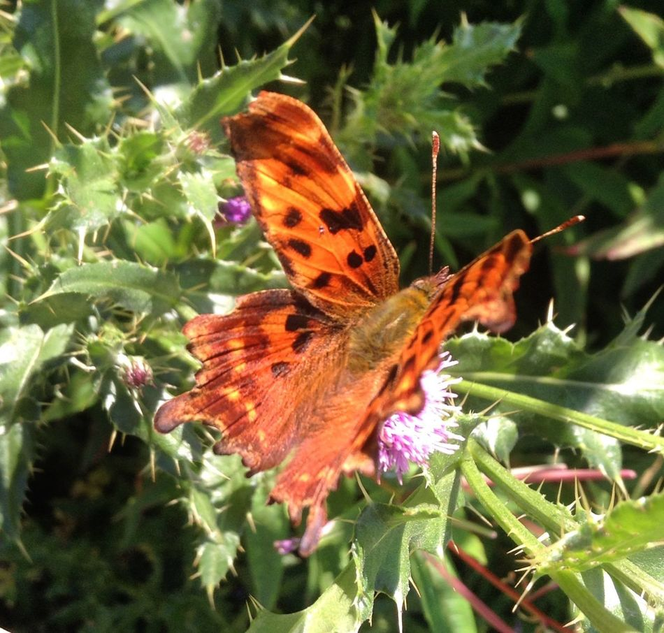 Beautiful Comma butterfly, migrated to Scotland which is rare! Photographs By LauraL LauraLightbodysnaps LauraLightbodyPhotography