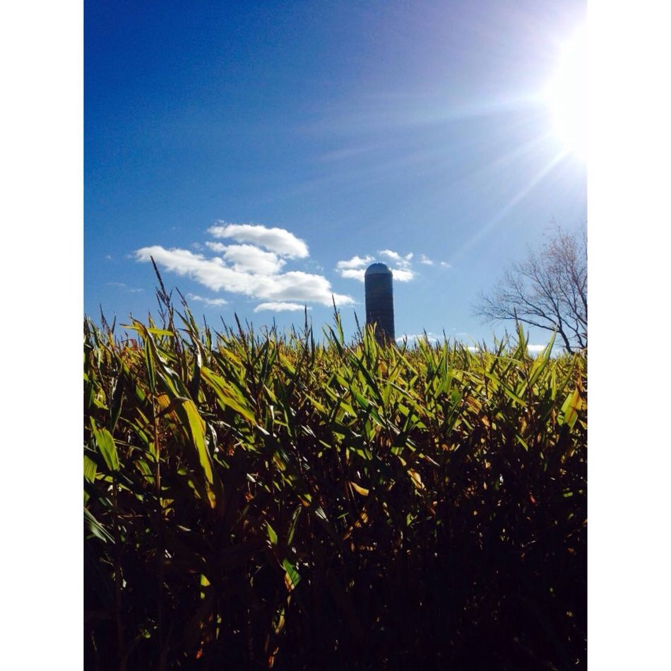 Corn maze ?☺️ Fall Corn First Eyeem Photo