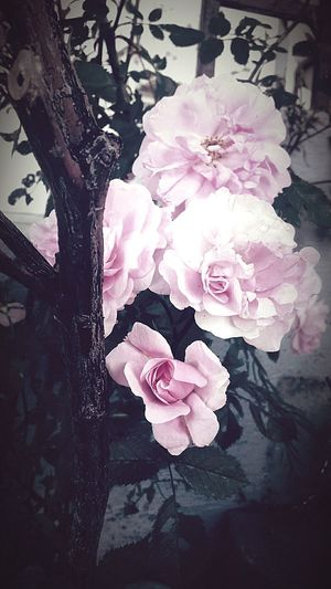 Flower Pink Flower Wildrose Naturehippies Nature Pastel Beautiful Enjoy Nature