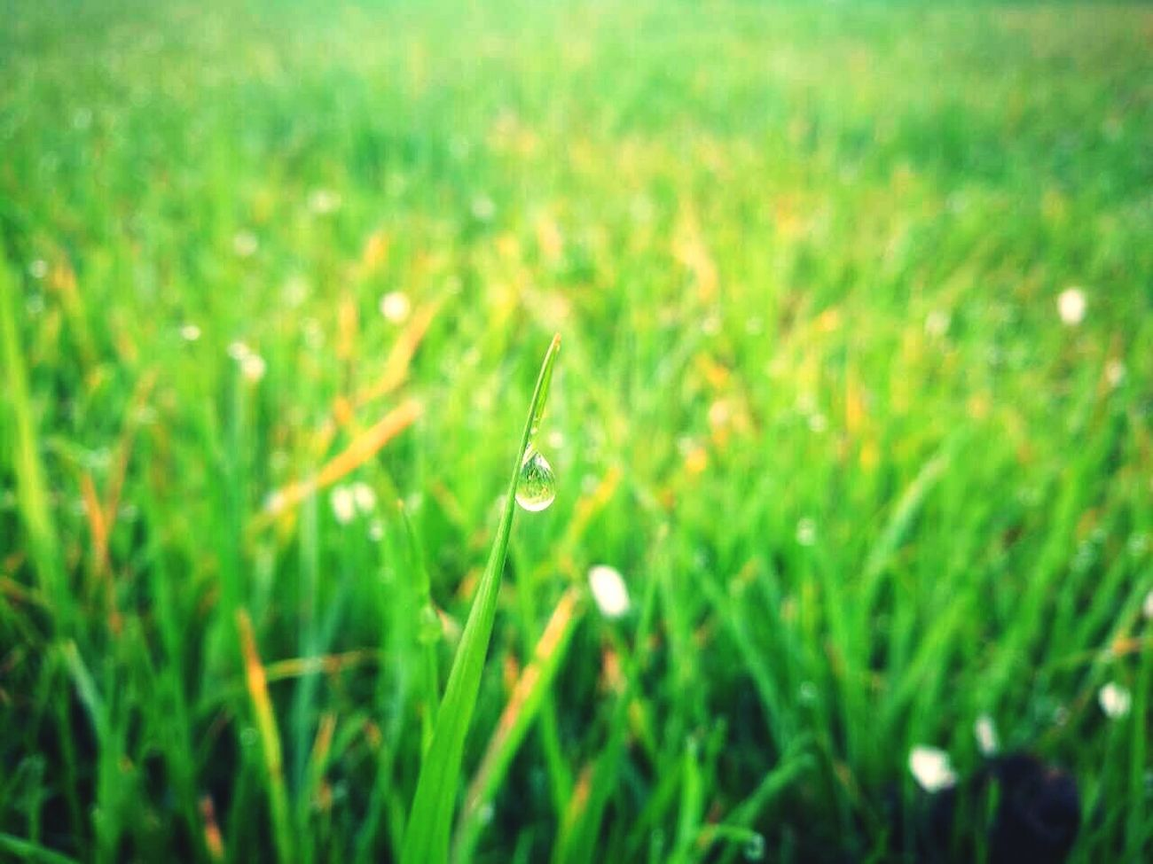 Blade Of Grass Freshness Plant Grass Growth Green Color Outdoors Close-up Beauty In Nature No People Rural Scene Nature Cereal Plant Day Fragility Field Winter Spring Spring Flowers Spring Is Coming  Spring Has Arrived