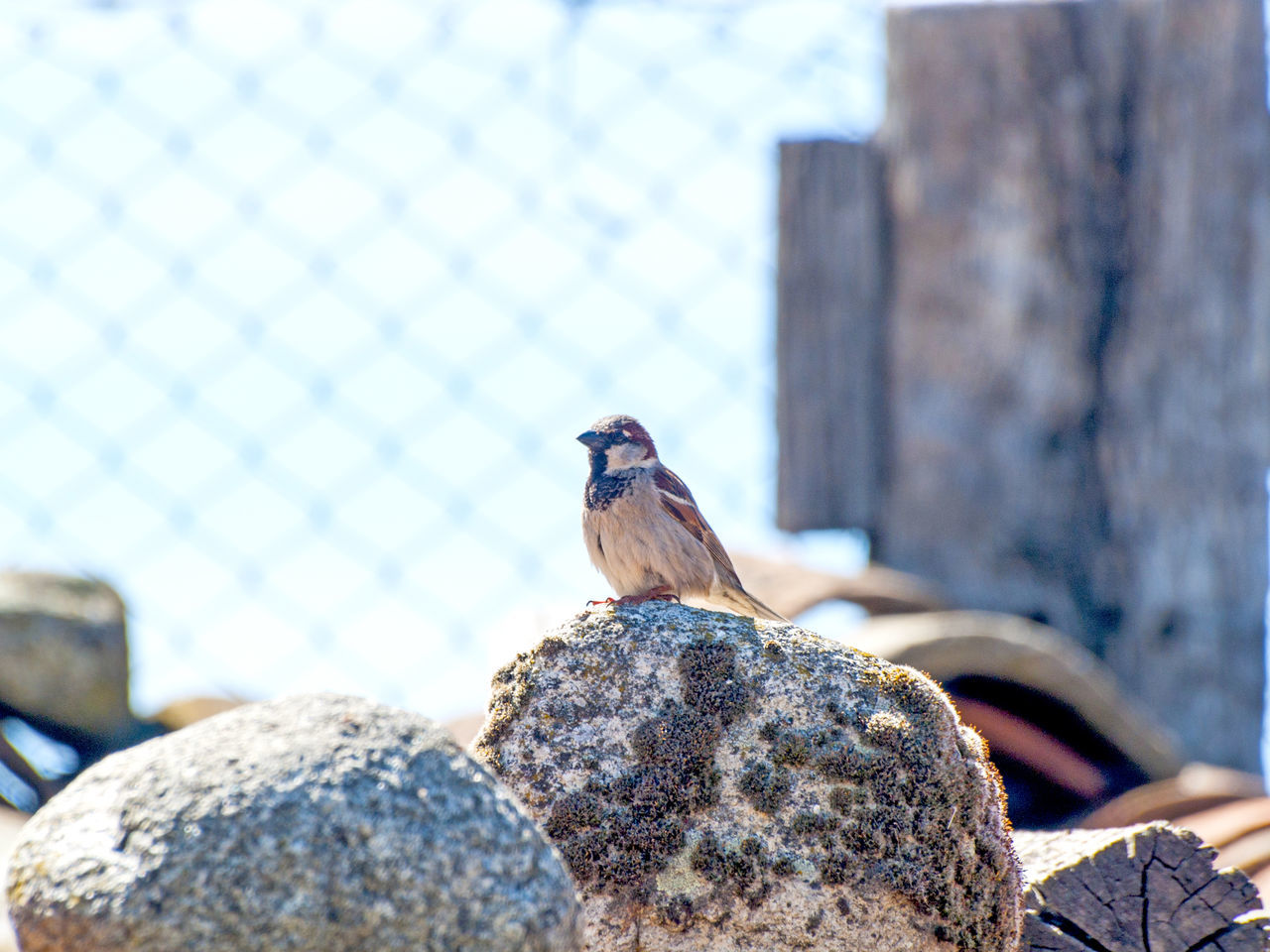 Adapted To The City Animal Themes Animal Wildlife Animals In The Wild Architecture Bird Birds City Life Close-up Focus On Foreground Nature One Animal Outdoors Passer Passer Domesticus Perching Robin Rooftop Sparrow Sparrow Bird Sparrows Urban Animals Urban Birds Urban Landscape Wildlife