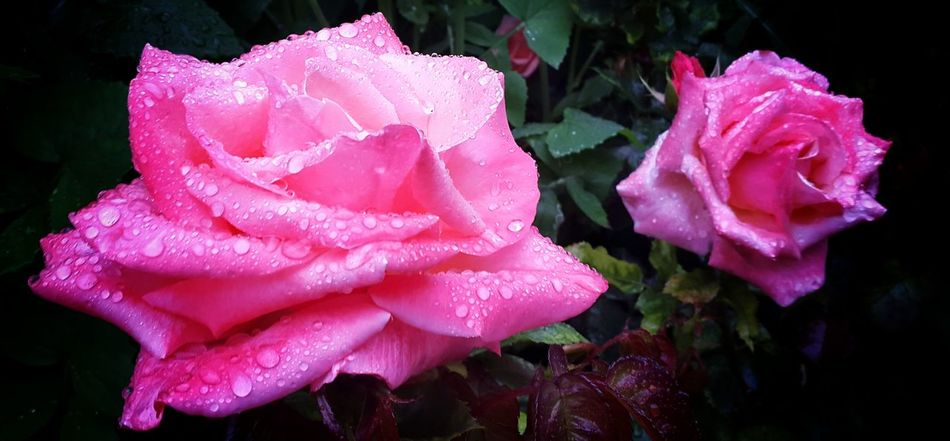 Roses🌹 Raindrops Pretty Relaxing Walking Around Gardens Mobilephotography Summertime Nature