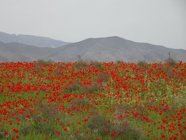 ALAIN LUC GUENET Beauty In Nature Central Asia Flower Fragility Freshness Growth Karshi Kashkadarya KYZYLKOUM DESERT Mountain Nature Navruz Plant Scenics Silk Road Tranquil Scene Tranquility Uzbekistan