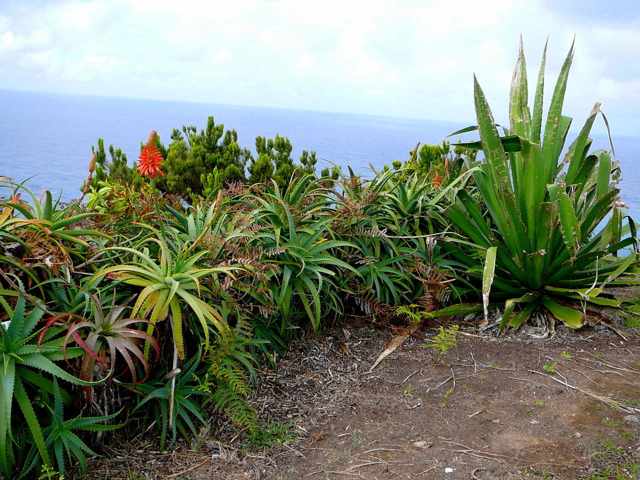 """""""Vasco De Gama"""" View ~ Azores Beauty In Nature Cactus Cactus Flower Cliff Edge Close-up Day Green Color Growth Leaf Nature No People Outdoors Plant Red Hot Poker  Sea Sky Succulents"""