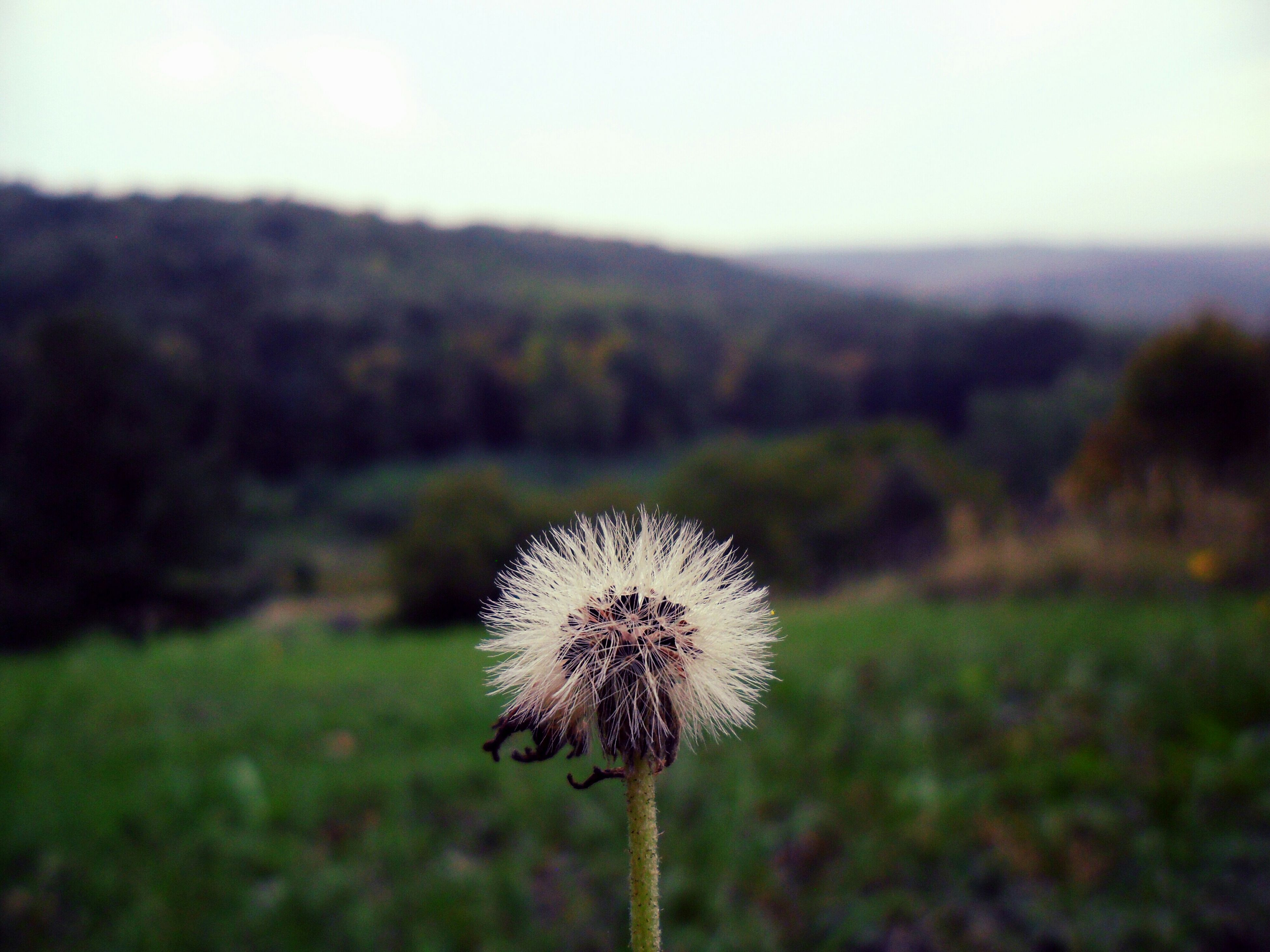 dandelion, flower, focus on foreground, fragility, stem, growth, field, freshness, close-up, nature, beauty in nature, uncultivated, flower head, wildflower, plant, sky, softness, landscape, tranquility, outdoors