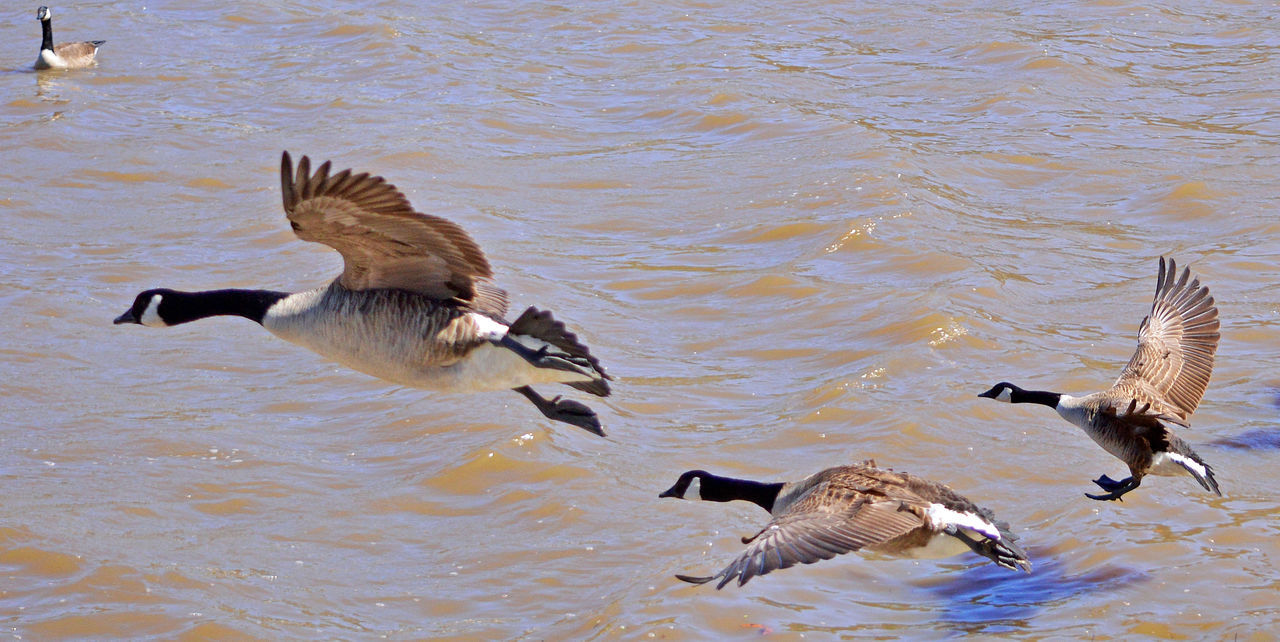 Four geese, three taking flight on the water Geese Animal Themes Animal Wildlife Animals In The Wild Bird Birds And Water Flock Of Birds Flying Flying High Nature Spread Wings Water Fowl Wing