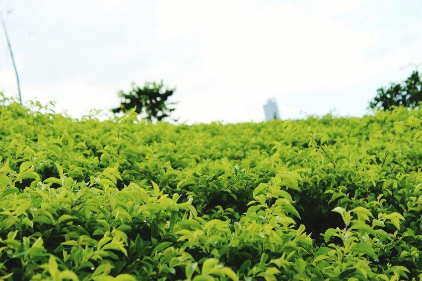 Leaves🌿 Green Nature Panamá