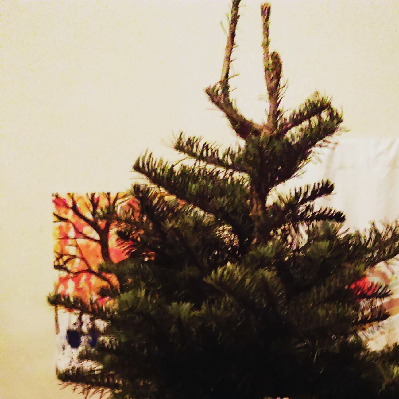 Fresh-cut NobleFir ~ Chose this one because of the two branches at the top that look like horns and a spider that pointed it out. Pagan Yule tree Holidaydecor HolidayDecorations PaganTree Yuletree