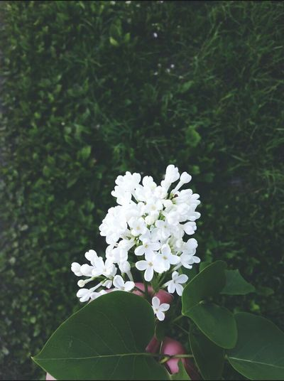 Flower White Color Blossom Nature Freshness Fragility Growth No People Plant Springtime Beauty In Nature Leaf Day Outdoors Tree Flower Head Close-up