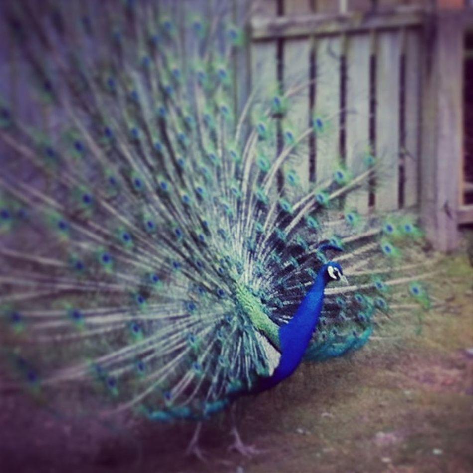 Blair Drummond Bird Birds Bird Photography Peacock