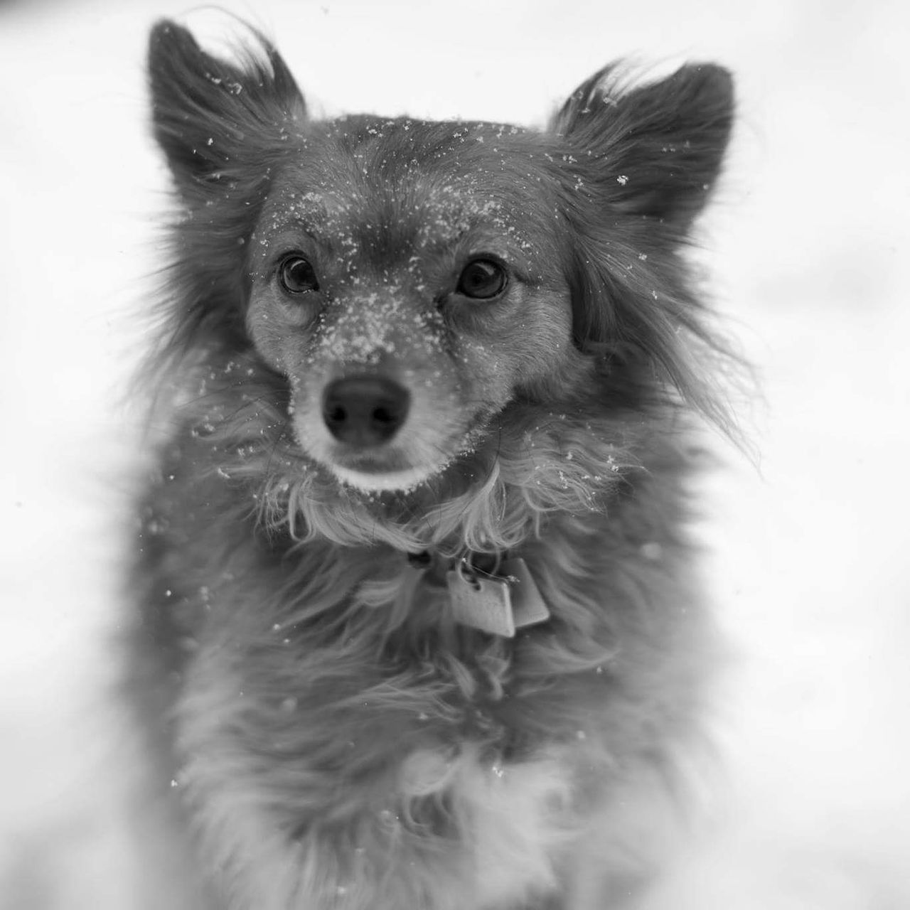 Snow day. Dog Close-up One Animal Animal Themes Portrait Domestic Animals Pets Dogs Of Winter Terrierchihuahua