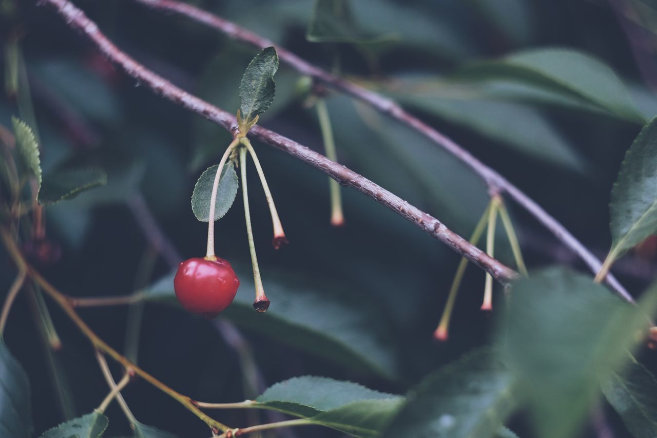 Fruit Red Food And Drink Growth Twig Nature Food Leaf Rose Hip Tree Outdoors Healthy Eating Close-up Day No People Focus On Foreground Branch Beauty In Nature Plant Freshness Nature Green Color Fujifilm_xseries