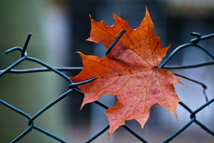 Change Leaf Autumn Maple Leaf Close-up No People Orange Color Nature Outdoors Day