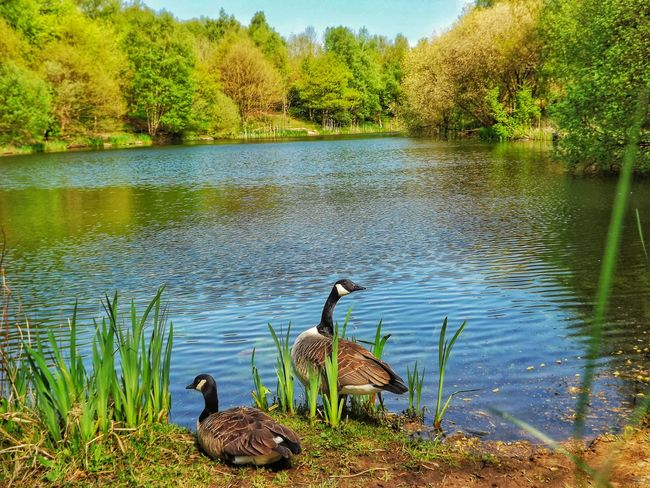 A little Oasis in Blackley Manchester most people don't know it's there Check This Out Wildlife Photography Wildlife & Nature Creative Light And Shadow Color Photography Malephotographerofthemonth HDR Fujifilm EyeEm Best Shots - HDR Close Up Nature Nature On Your Doorstep Geese Photography Geese At The Lake Landscape Nature Photography [ Scenery Shots Scenic Water_collection Lake View Lake Hidden Gems  Nature And Wildlife By Tony Bayliss