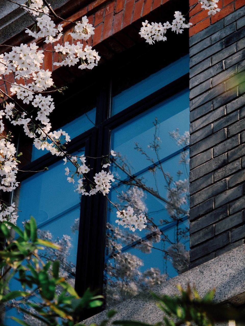 Low Angle View Of Cherry Blossom Tree By Glass Window