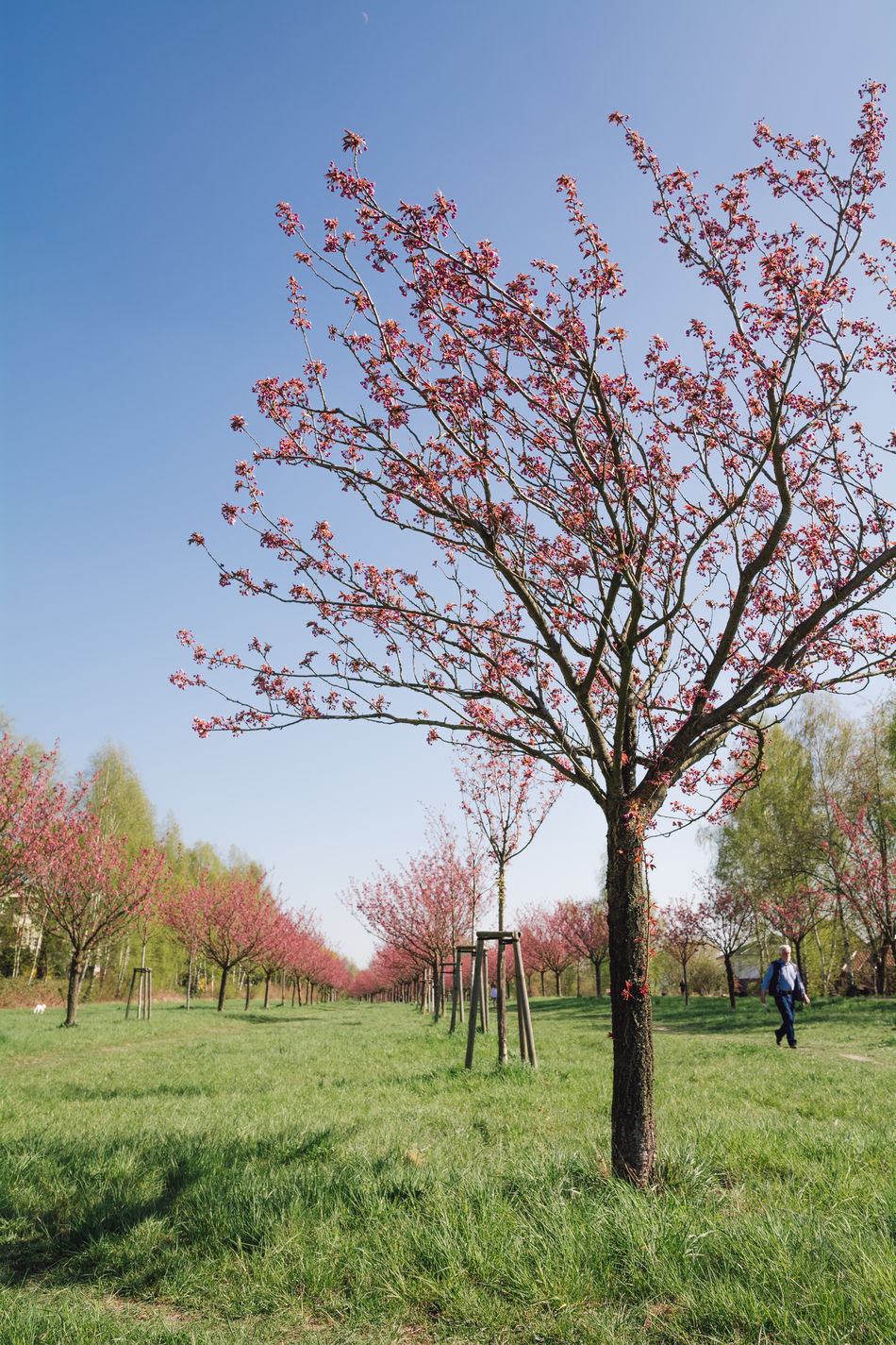 japanese cherry blossoms Beauty In Nature Berlin Branch Clear Sky Day Field Full Length Grass Grassland Growth Japanese Cherry Blossoms Landscape Men Nature Outdoors Real People Scenics Season  Spring Spring 2017 Springtime Tranquil Scene Tranquility Tree Tree Trunk