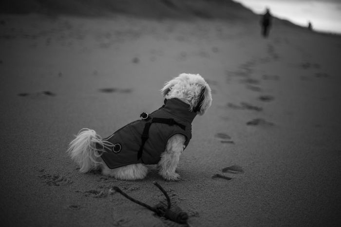Beach Walk Dog Toy Footprints Low Angle View Storytelling Beach Black And White Cute Puppy Depth Depth Of Field Dog Hopefull Puppy Sad Sand Small Dog West Highland White Terrier