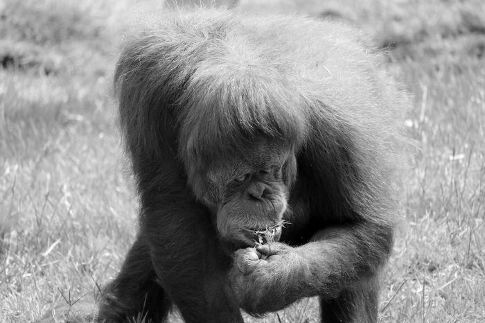 Animal Photography Animal Themes Animal_collection Animals Ape Black & White Black And White Blackandwhite Blackandwhite Photography Bnw Eye4photography  EyeEm Best Shots EyeEmBestPics Minimal Minimalism Minimalobsession Orangatang