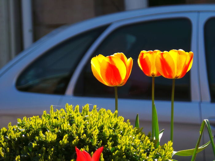 Tulips caught by the sun Flowers