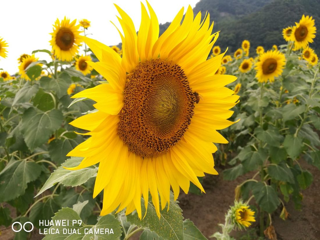 Flower Yellow Freshness Fragility Petal Sunflower Flower Head Growth Beauty In Nature Plant Close-up Nature Day Pollen Blooming Focus On Foreground Vibrant Color No People Bloom Blossom