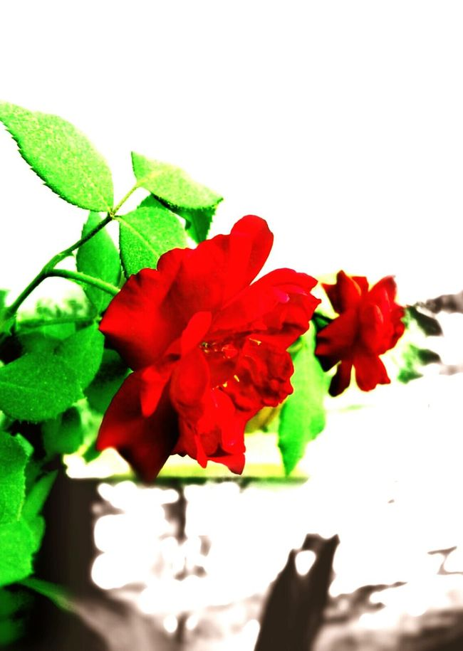 Flowers Flower Red Leaf Nature Fragility Freshness Close-up No People Flower Head Vertical Beauty In Nature White Background Beauty Outdoors Growth Petal Plant Day Roses🌹 Roses Flowers  Leaf 🍂 Beauty In Nature Green Green Green!  Flowers,Plants & Garden Beautiful Nature