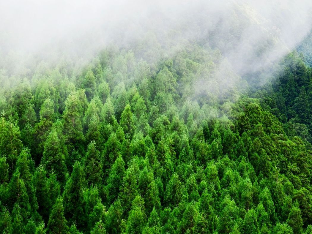 Nature Tree Forest Lush Foliage Growth Beauty In Nature Scenics Green Color Day Fog Outdoors WoodLand Landscape Mountain Plant Tranquility Tranquil Scene Mist Hazy  Cloud - Sky Cloud EyeEm Best Shots in Sao Miguel Azores , Portugal MISSIONS: The Week On EyeEm Perspectives On Nature