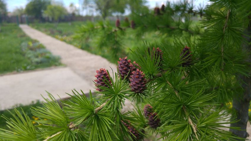 Showcase April Sprucecone Spruce Branches Green Spring Green Spring Alley Needles Spruce Trees Springtime Spruce Spruce Needles Baby Corn Cone Green Landscape Green Green Green!  Green Everywhere