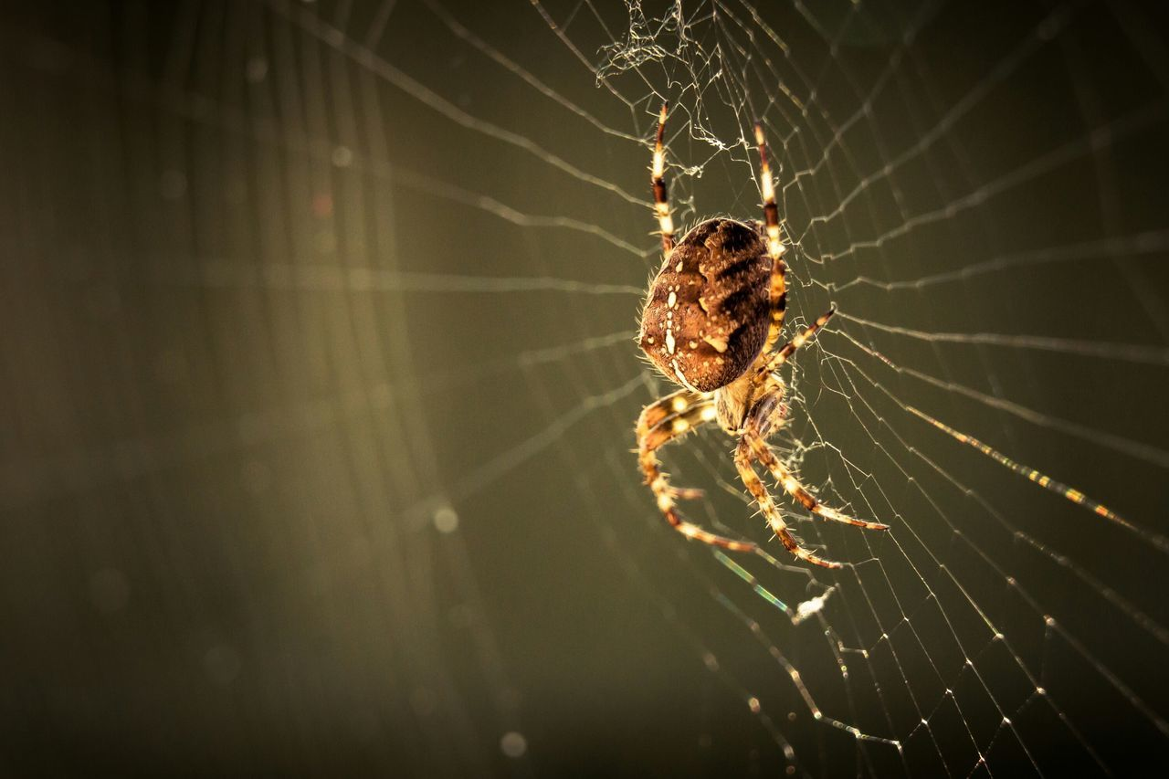 Garden spider. Web Spiderweb Spider Macro