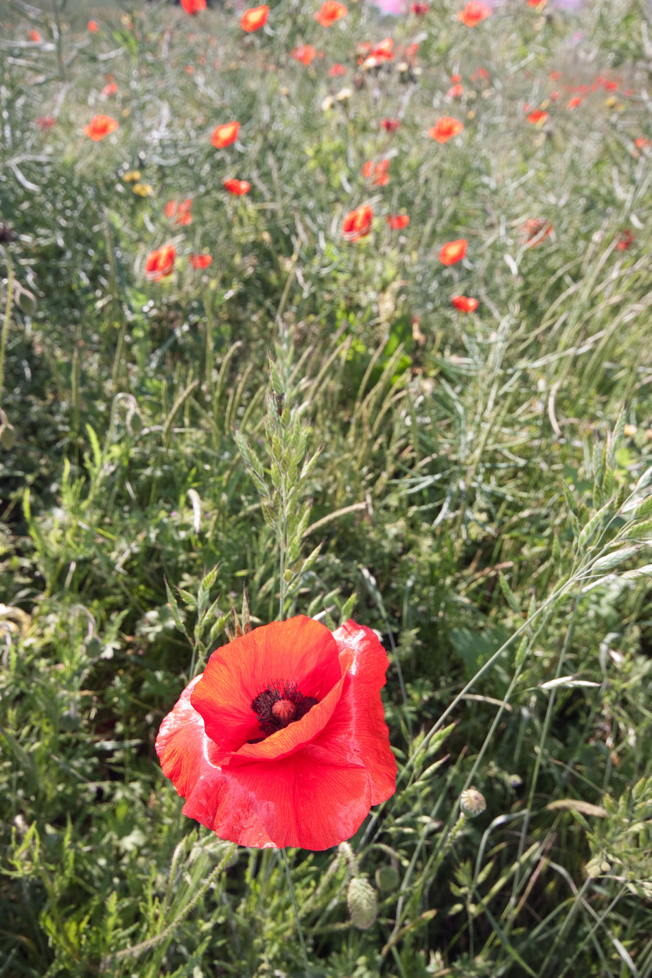 Poppy flower in field Beauty In Nature Blooming Close-up Day EyeEmNewHere Field Flower Flower Head Fragility Freshness Grass Growth Hibiscus Nature No People Outdoors Petal Plant Poppy Red