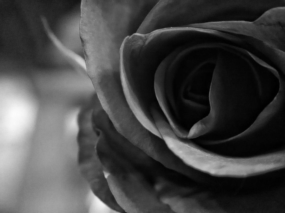 Backgrounds Beauty In Nature Black & White Black And White Blackandwhite Close-up Day EyeEm Nature Lover Fine Art Photography Flower Flower Head Focus On Foreground Fragility Freshness Growth Lumicar Natural Beauty Nature No People Outdoors Petal Rose - Flower Macro