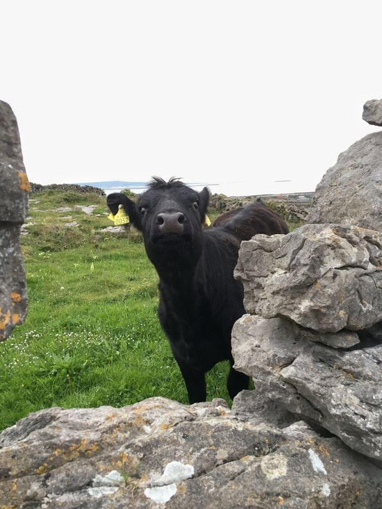 Adventure Club Inishmaan Cow Surprise Shock Uniqueness Well Hello There Hey  Perspectives On Nature