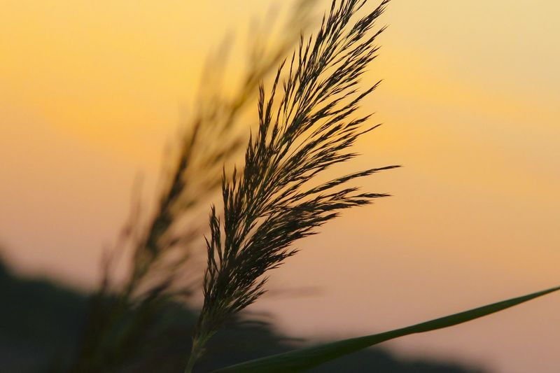 EyeEm Selects Sunset Nature Silhouette Agriculture Cereal Plant Plant Yellow Rural Scene Backgrounds Gold Colored Morning Field Growth Sky Landscape Sunlight Wheat Grass Outdoors Close-up