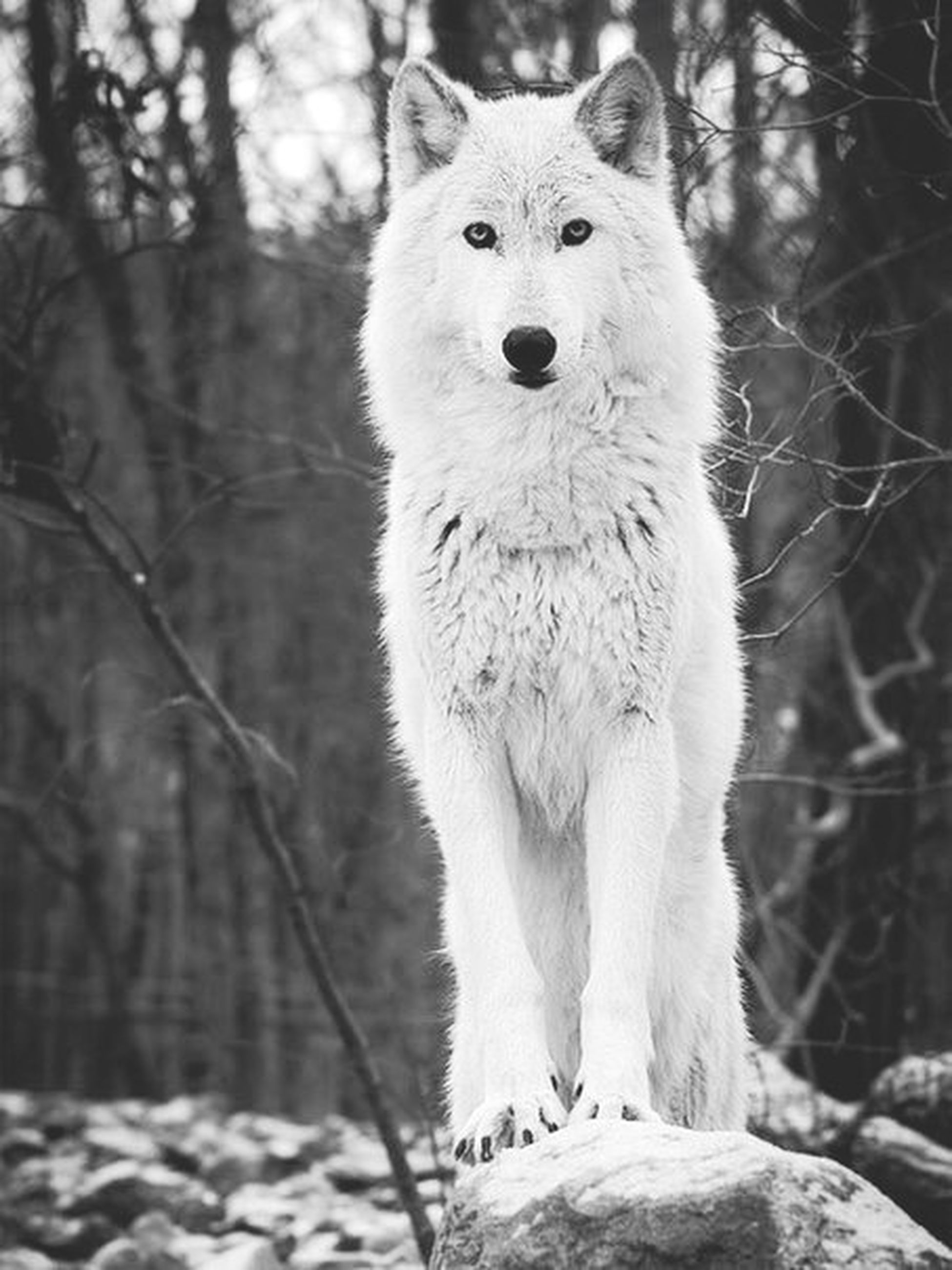 animal themes, one animal, focus on foreground, mammal, portrait, looking at camera, sitting, white color, front view, wildlife, close-up, forest, tree, pets, nature, animals in the wild, outdoors, day, no people